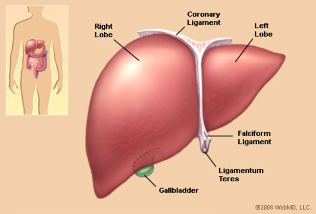 Everything You Need To Know About Human Liver